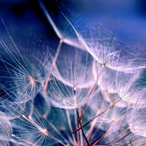 White-Dandelions-iPad-wallpaper-ilikewallpaper_com_1024