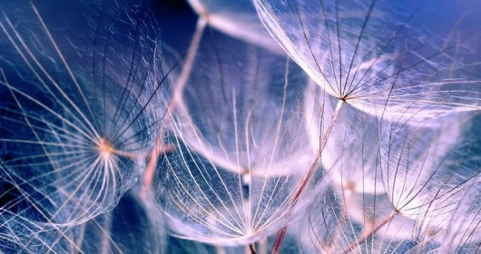 White-Dandelions-iPad-wallpaper-ilikewallpaper_com_1024